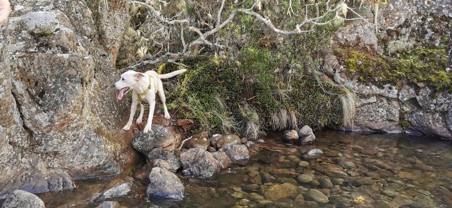 YARI, jolie chienne blanche 1 an (née le 01/06/2020) - 13 kg - Marrainée par Pat84 19078113