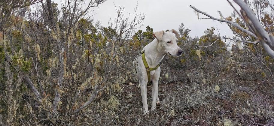 YARI, jolie chienne blanche 1 an (née le 01/06/2020) - 13 kg - Marrainée par Pat84 19100110