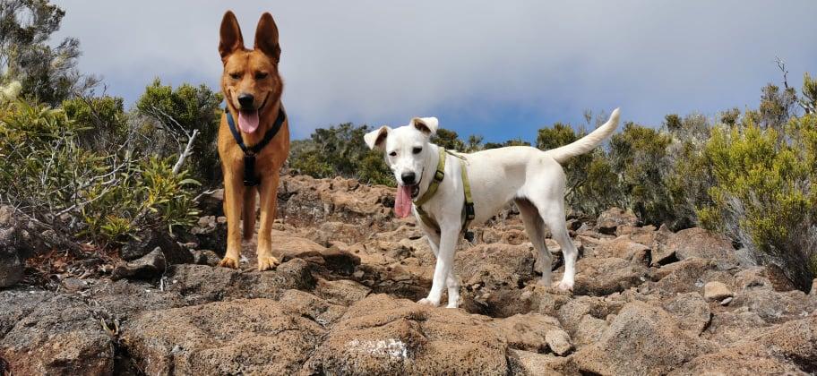 YARI, jolie chienne blanche 1 an (née le 01/06/2020) - 13 kg - Marrainée par Pat84 19123410