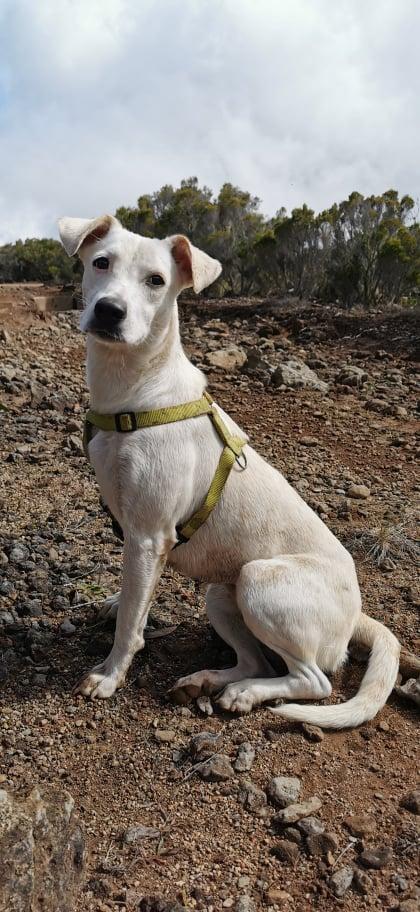 YARI, jolie chienne blanche 1 an (née le 01/06/2020) - 13 kg - Marrainée par Pat84 19151010
