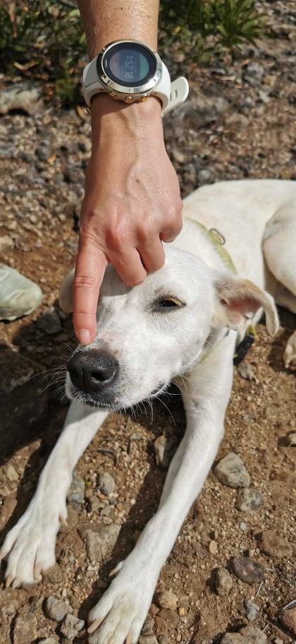 YARI, jolie chienne blanche 1 an (née le 01/06/2020) - 13 kg - Marrainée par Pat84 19187710