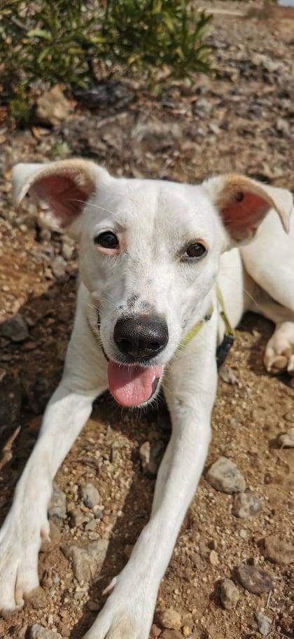 YARI, jolie chienne blanche 1 an (née le 01/06/2020) - 13 kg - Marrainée par Pat84 19227210