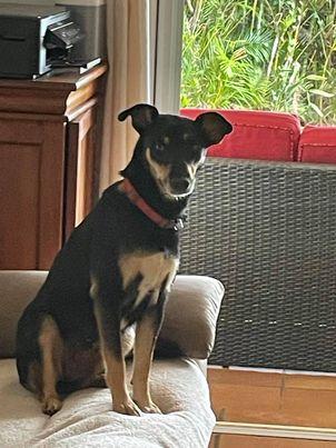 MIRABELLE, jeune chienne noire et feu de 1 an environ (née le 01/09/2020) et 12 kg  19342010