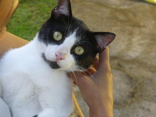 SANDJY, chat mâle, Noir et blanc de 2,5 ans environ  19435410