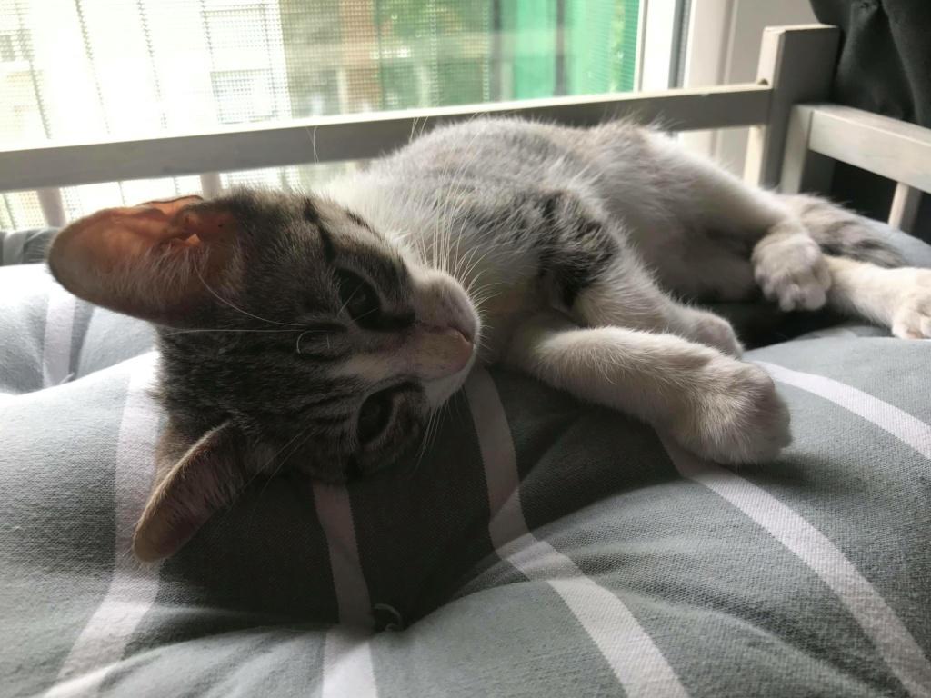 GENGIS, chaton tigré gris, frère de Tani, Iro et Sipion, né le 01/03/2021 19447910