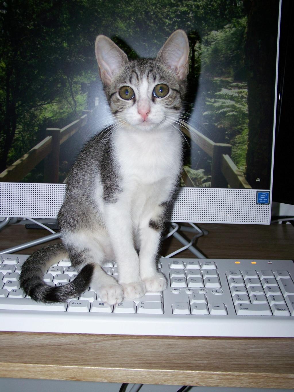 GENGIS, chaton tigré gris, frère de Tani, Iro et Sipion, né le 01/03/2021 19465210