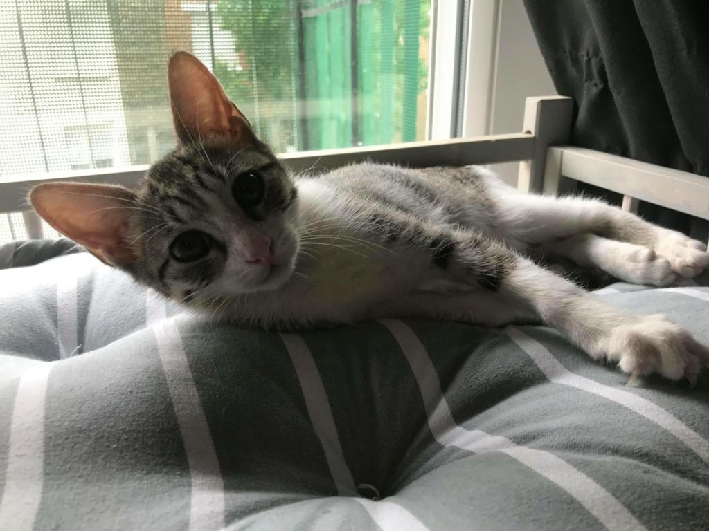 GENGIS, chaton tigré gris, frère de Tani, Iro et Sipion, né le 01/03/2021 19491110