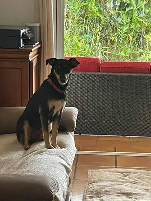 MIRABELLE, jeune chienne noire et feu de 1 an environ (née le 01/09/2020) et 12 kg  19601210
