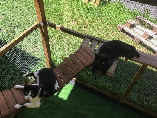SANDJY, chat mâle, Noir et blanc de 2,5 ans environ  19682410