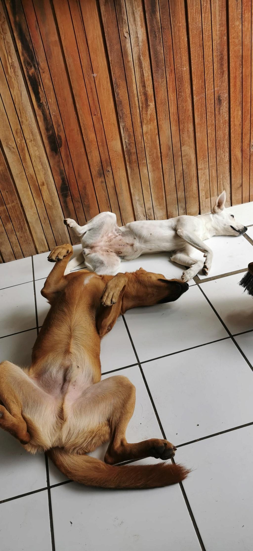 YARI, jolie chienne blanche 1 an (née le 01/06/2020) - 13 kg - Marrainée par Pat84 19749010