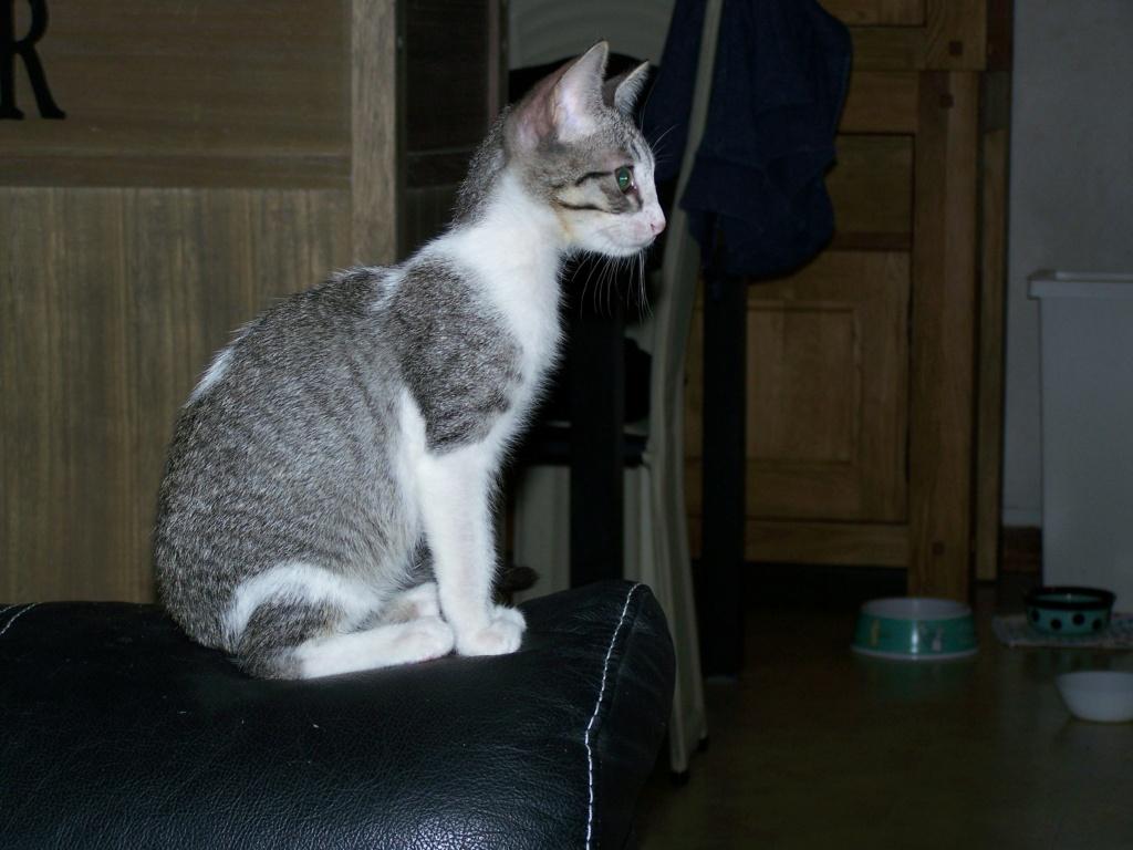 GENGIS, chaton tigré gris, frère de Tani, Iro et Sipion, né le 01/03/2021 19764610