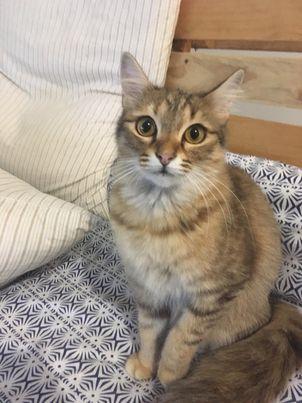 HINATA, chatte femelle tigrée de 6/7 mois environ 20017511