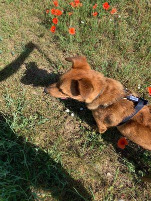 MAHOT, jeune chien fauve de 1 an environ pour 13 kg - Marrainé par Coralie 20144210