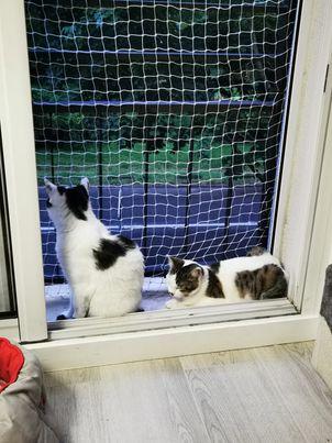 BILBO chaton mâle tigré et blanc 4 mois, né le 07/01/2021 20189910