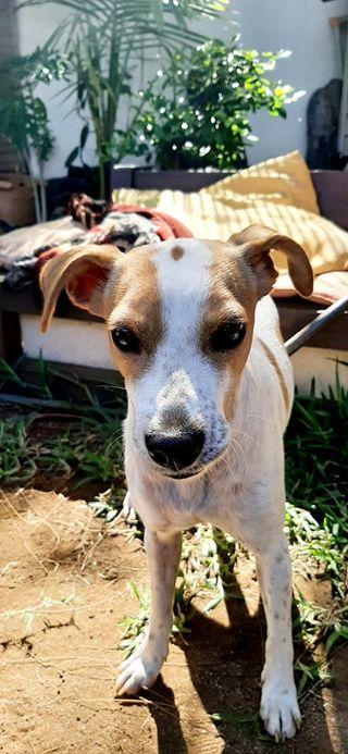 STOPY, chien mâle blanc et marron de 2 ans -Marrainé par Muriel (Phoemo)-Réservé par Valérie 20214610