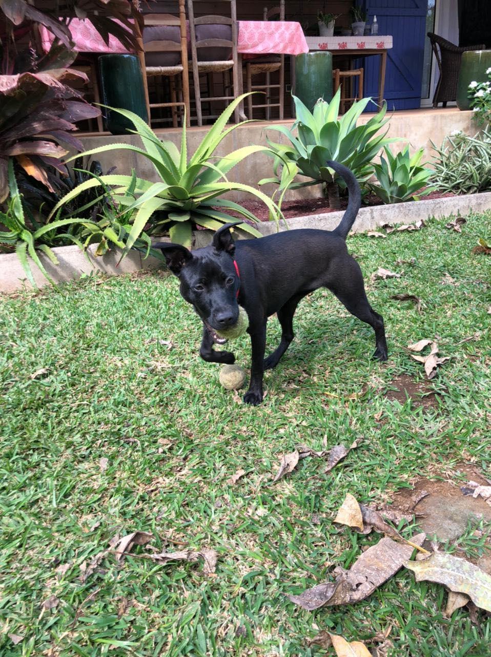 TIKI, jeune chienne noire de 8 mois pour 11 Kg 20230010