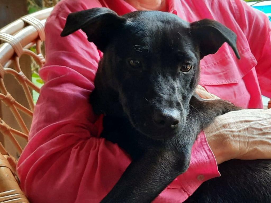 TIKI, jeune chienne noire de 8 mois pour 11 Kg 20251910