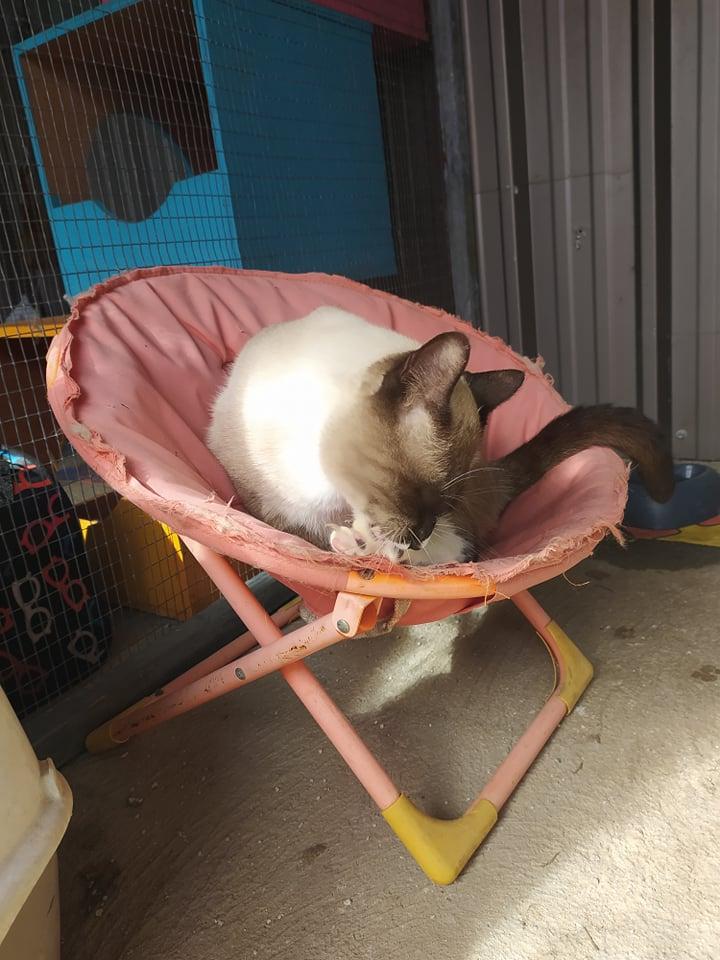 CAPUCCINO, chat mâle typé siamois de 7 ans 20298910