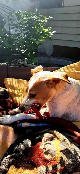 STOPY, chien mâle blanc et marron de 2 ans -Marrainé par Muriel (Phoemo)-Réservé par Valérie 20326010