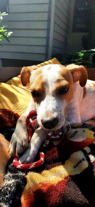 STOPY, chien mâle blanc et marron de 2 ans -Marrainé par Muriel (Phoemo)-Réservé par Valérie 20363010