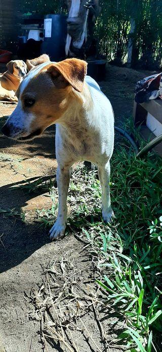STOPY, chien mâle blanc et marron de 2 ans -Marrainé par Muriel (Phoemo)-Réservé par Valérie 20384510