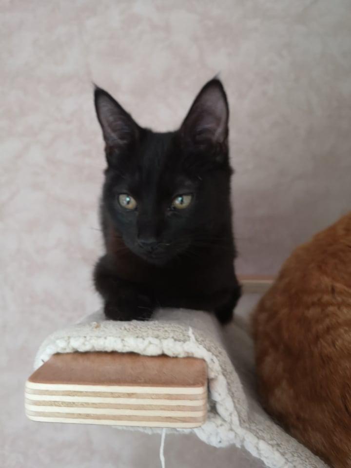 SALAMBÔ, chaton noir de 5 mois (né le 16/02/2021) 20457110