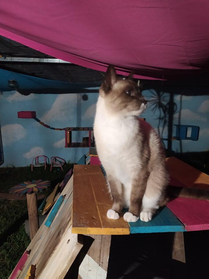 CAPUCCINO, chat mâle typé siamois de 7 ans 20462610