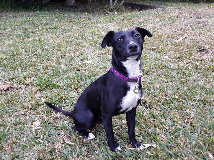 BELLA, chienne noire de 1,5 an environ pour 11 Kg - Marrainée par Steffi et Maud 20478010