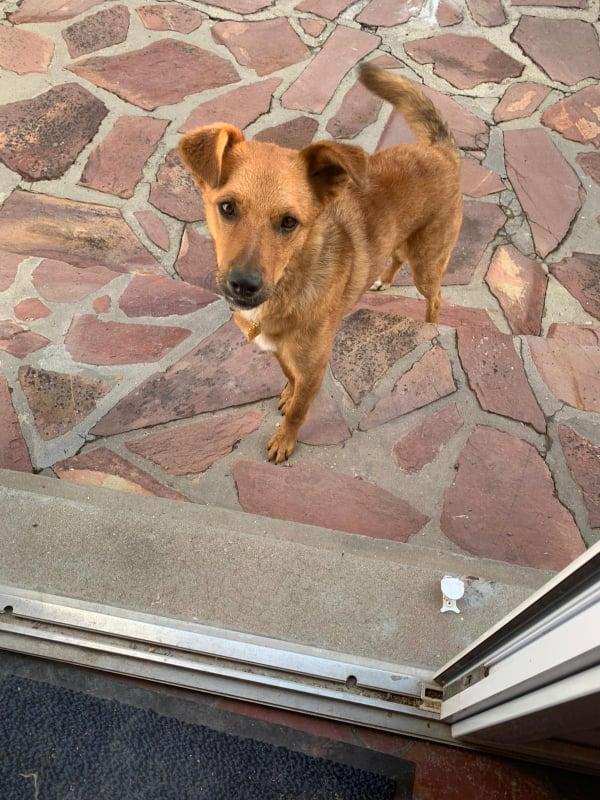 MAHOT, jeune chien fauve de 1 an environ pour 13 kg - Marrainé par Coralie 20482510