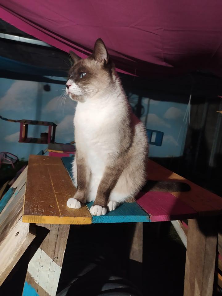 CAPUCCINO, chat mâle typé siamois de 7 ans 20510010