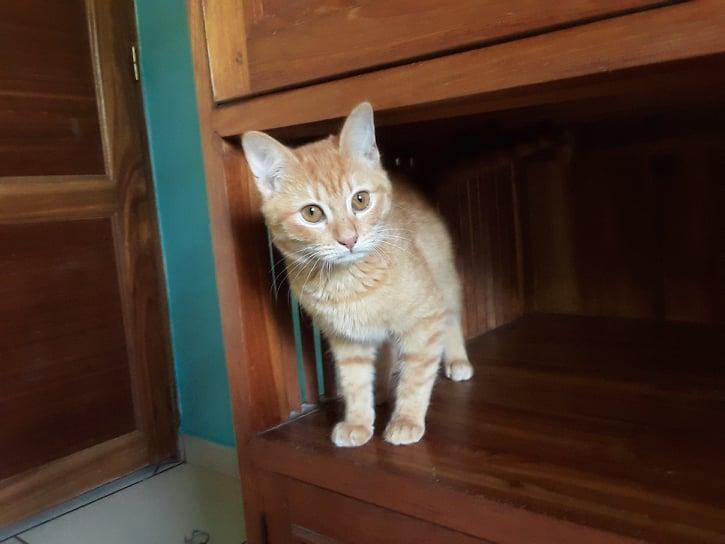 SCARLETT, chatonne rousse de 5 mois (née le 16/02/2021) - Réservée par Salima 20633310