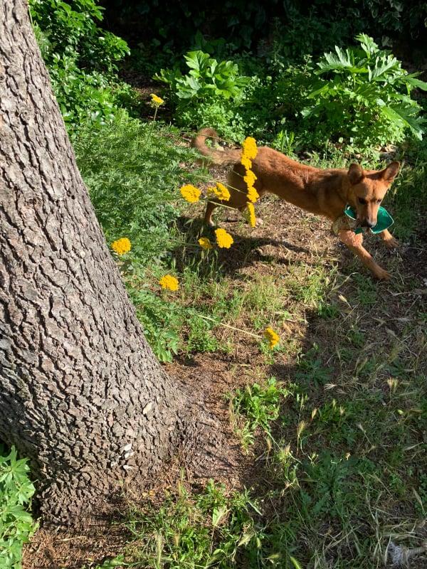 MAHOT, jeune chien fauve de 1 an environ pour 13 kg - Marrainé par Coralie 20672210