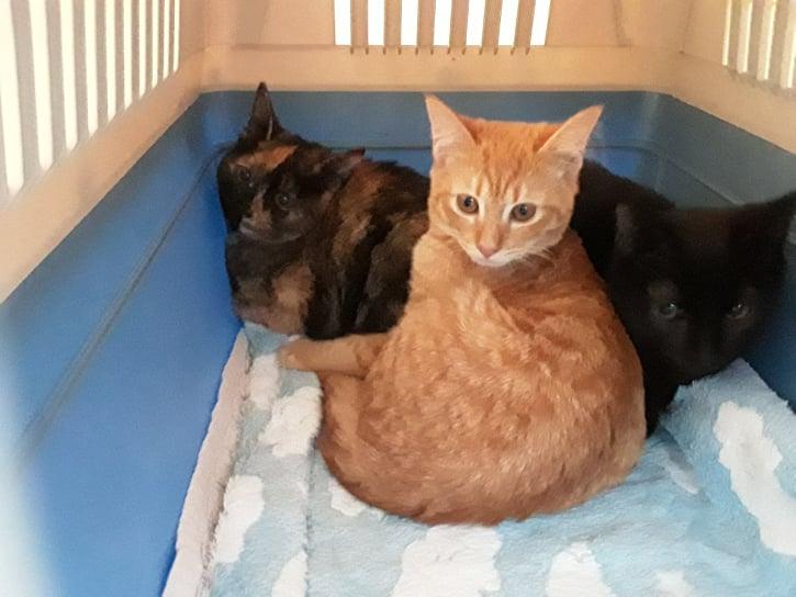 SCARLETT, chatonne rousse de 5 mois (née le 16/02/2021) - Réservée par Salima 20676813