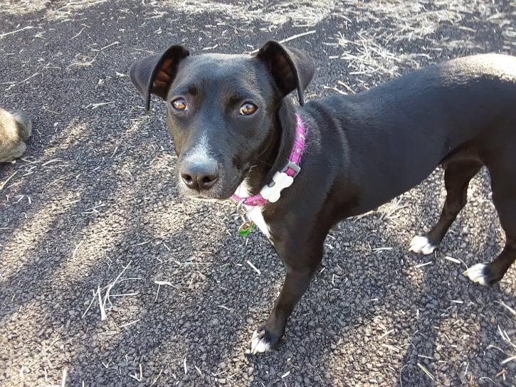 BELLA, chienne noire de 1,5 an environ pour 11 Kg - Marrainée par Steffi et Maud 20696810