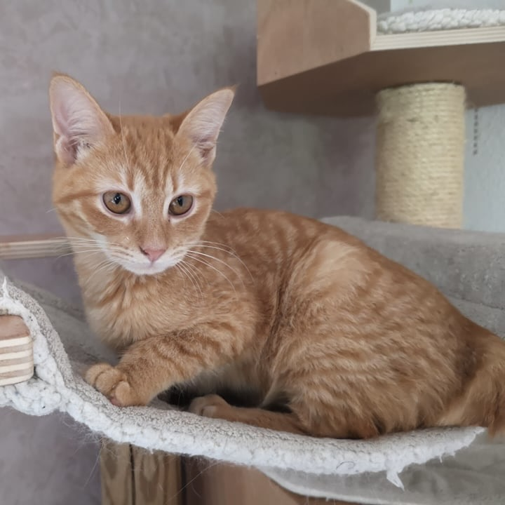 SCARLETT, chatonne rousse de 5 mois (née le 16/02/2021) - Réservée par Salima 20762811