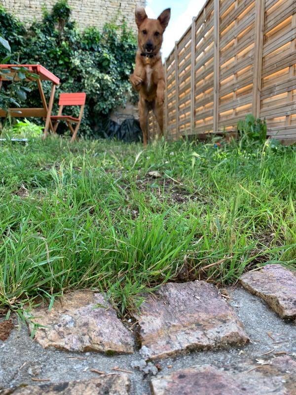 MAHOT, jeune chien fauve de 1 an environ pour 13 kg - Marrainé par Coralie 20810510