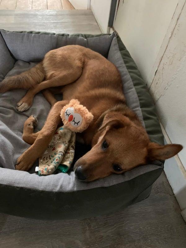 MAHOT, jeune chien fauve de 1 an environ pour 13 kg - Marrainé par Coralie 20824310