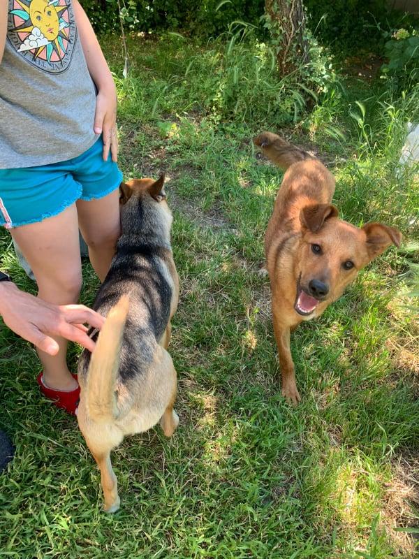 MAHOT, jeune chien fauve de 1 an environ pour 13 kg - Marrainé par Coralie 20824311