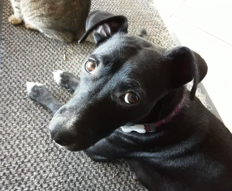 BELLA, chienne noire de 1,5 an environ pour 11 Kg - Marrainée par Steffi et Maud 20847810