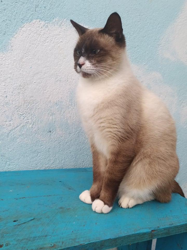 CAPUCCINO, chat mâle typé siamois de 7 ans 20873211