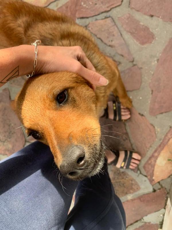 MAHOT, jeune chien fauve de 1 an environ pour 13 kg - Marrainé par Coralie 20884810
