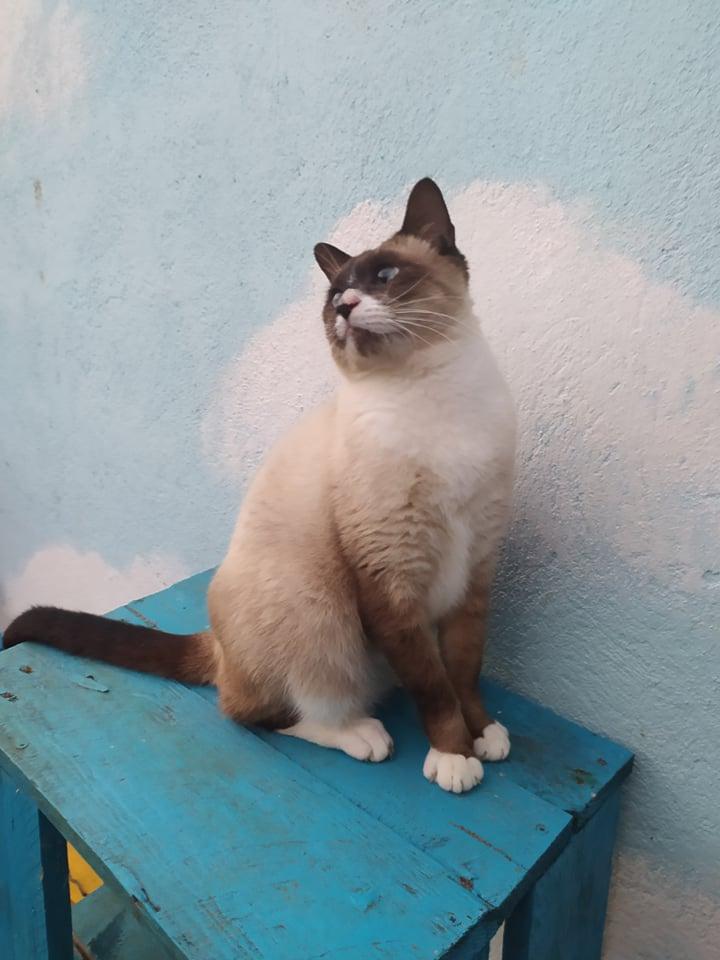 CAPUCCINO, chat mâle typé siamois de 7 ans 20993310