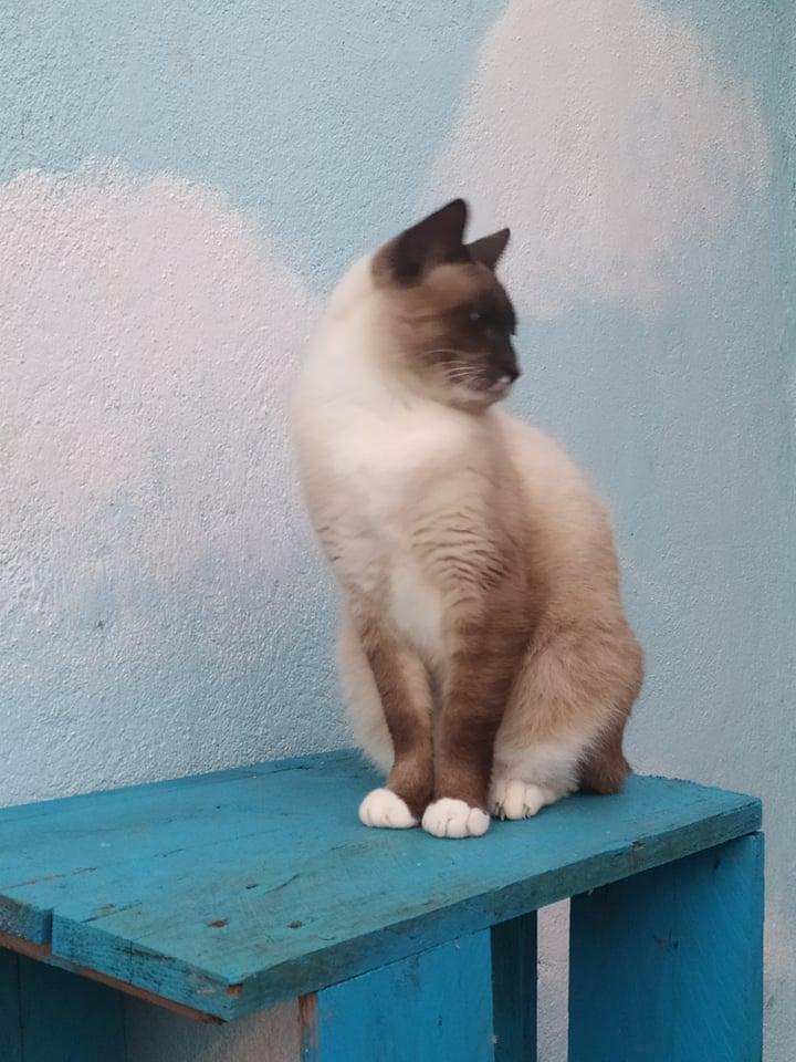 CAPUCCINO, chat mâle typé siamois de 7 ans 20997510