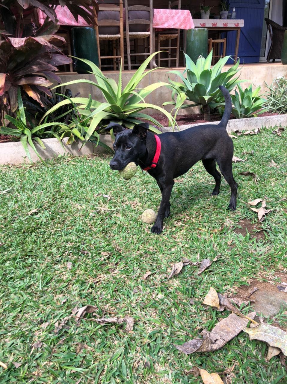 TIKI, jeune chienne noire de 8 mois pour 11 Kg 21011410