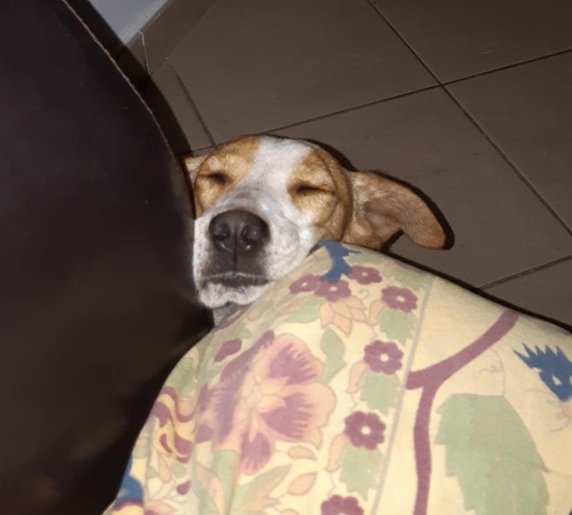 STOPY, chien mâle blanc et marron de 2 ans -Marrainé par Muriel (Phoemo)-Réservé par Valérie 21214610