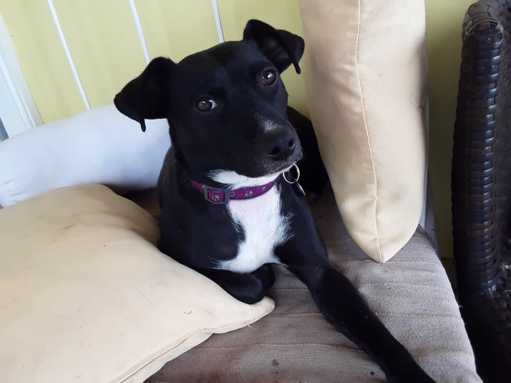 BELLA, chienne noire de 1,5 an environ pour 11 Kg - Marrainée par Steffi et Maud 21374610