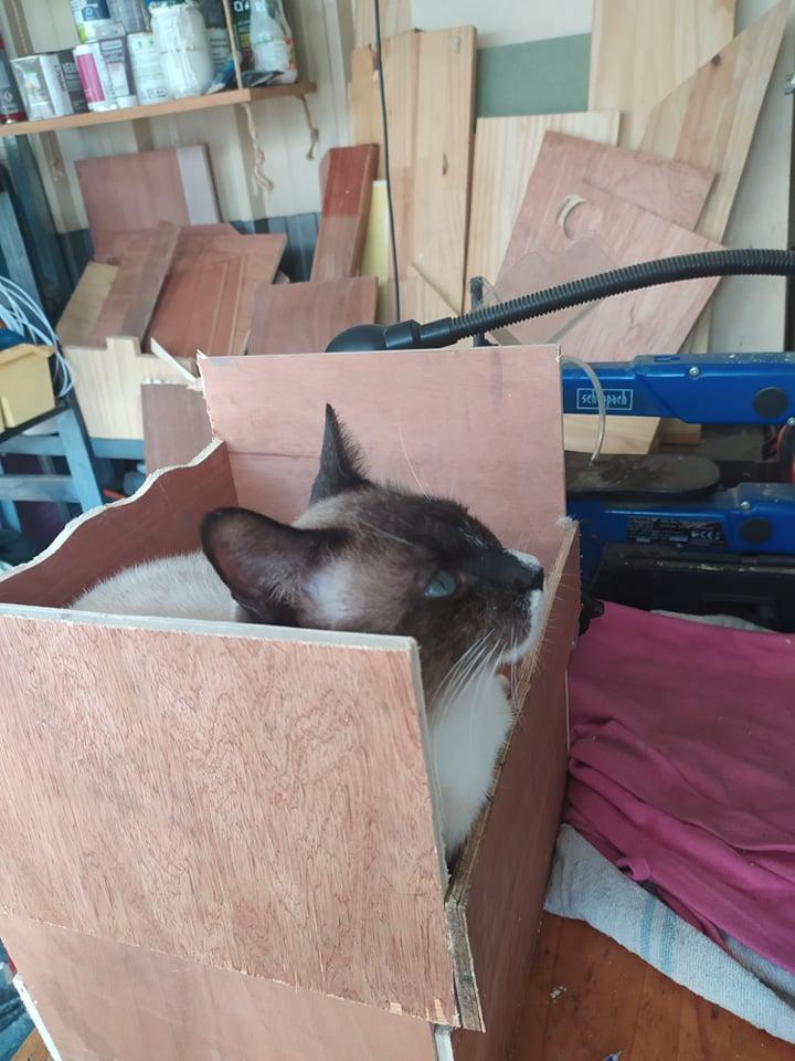 CAPUCCINO, chat mâle typé siamois de 7 ans 21455010