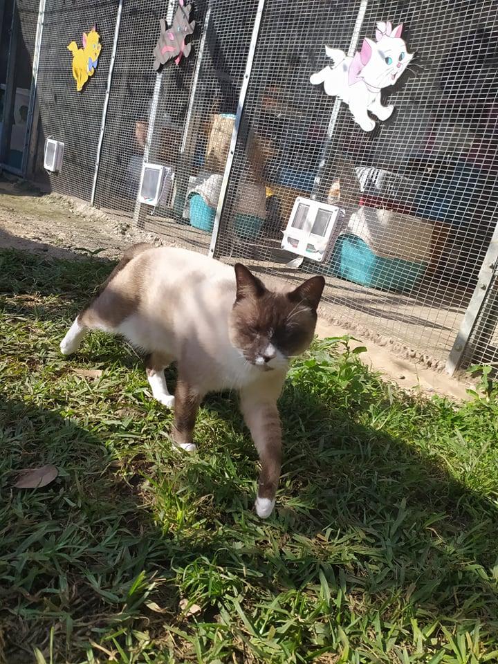 CAPUCCINO, chat mâle typé siamois de 7 ans 21459010