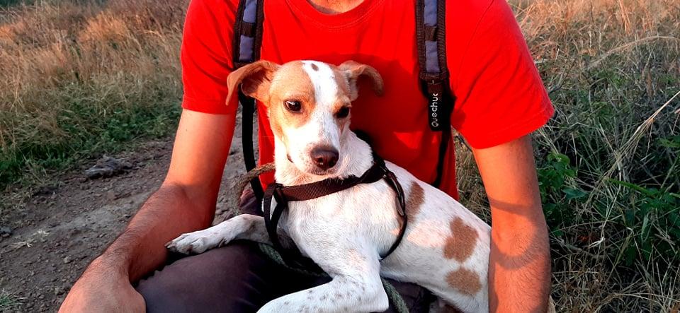 STOPY, chien mâle blanc et marron de 2 ans -Marrainé par Muriel (Phoemo)-Réservé par Valérie 21565510