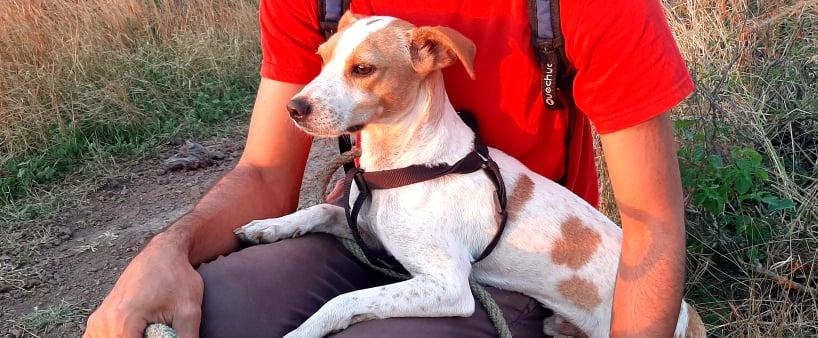 STOPY, chien mâle blanc et marron de 2 ans -Marrainé par Muriel (Phoemo)-Réservé par Valérie 21591410